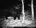 Bear trail cam pics