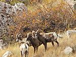 Bighorns, Wind river canyon, WY