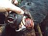 Idaho Wilderness Elk, Deer, Bear, Wolf Swap- OTC Tags!-10001542_10203755086256980_2136436308270460195_n.jpg