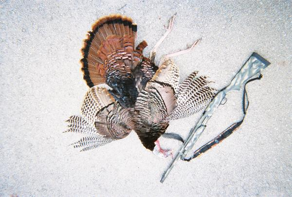 My new Turkey gun that got it done for me,a Mossburg 835 with 3 1/2 Remington Nitro Turkey number 5 shot. Used a Hunter Specialty Power V Mouth Call to get him coming in for the kill.