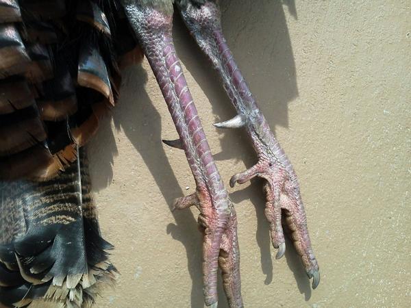 Mean looking hooks on Kents Turkey