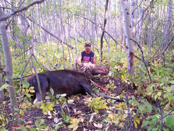 Moose in manitoba