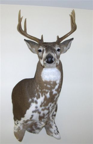 the mount Piebald Deer Mounts