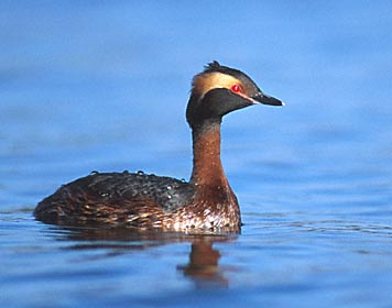 Horned grebe male and female